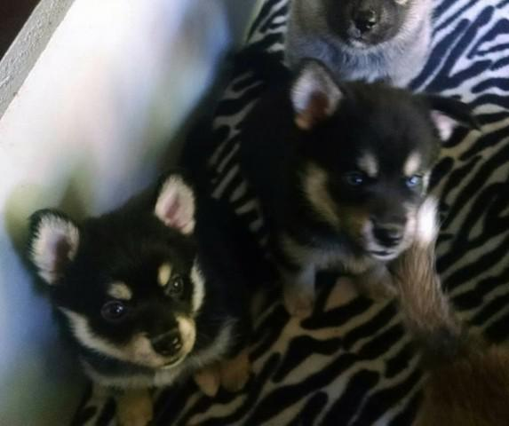 Blue eyed pomsky puppies 9 weeks old fully vaccinated